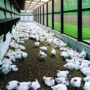 Freilahndhaltung: Junge Hühner im Aussenklimabereich