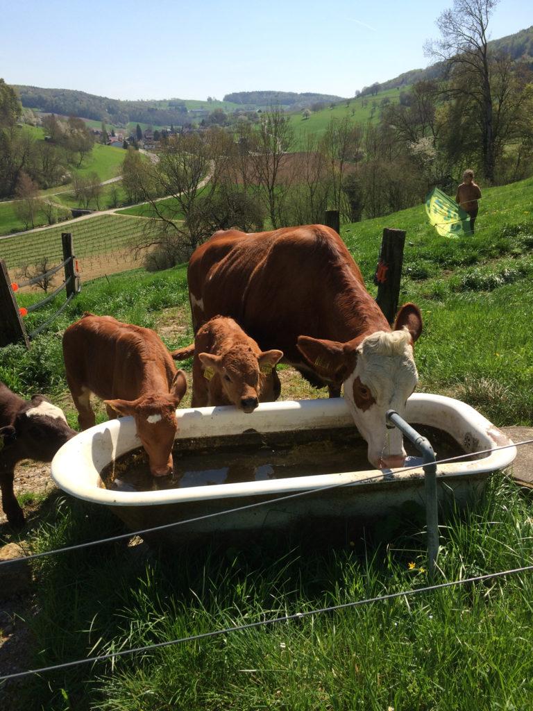 Weidebeef: Mutterkühe und ihr Nachwuchs