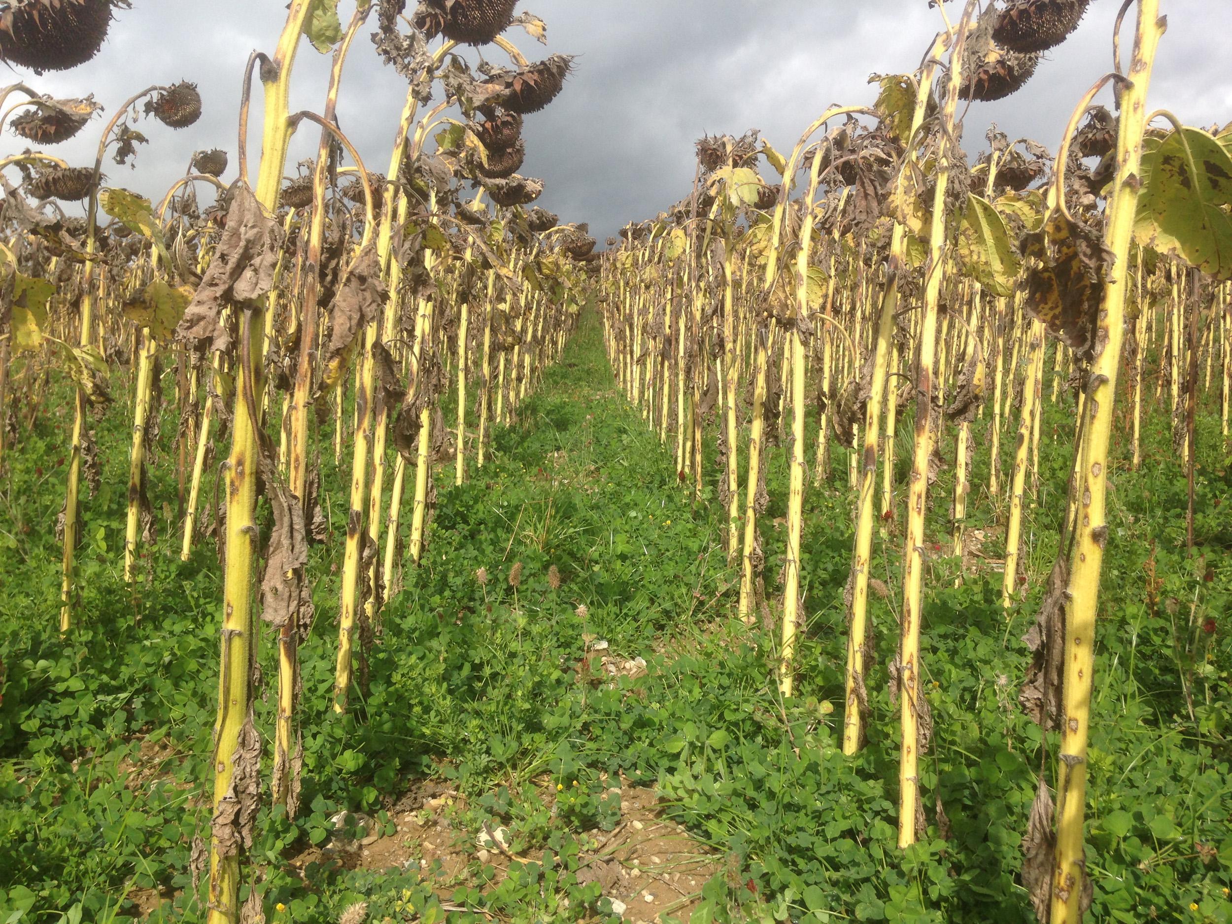 Tiernahrung aus natürlicher Landwirtschaft: Sonnenblumen